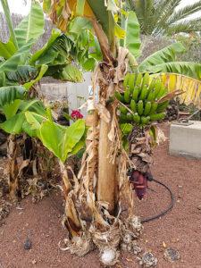 Бананы на Тенерифе